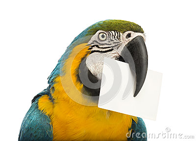 Close-up of a Blue-and-yellow Macaw, Ara ararauna, 30 years old, holding a white card in its beak