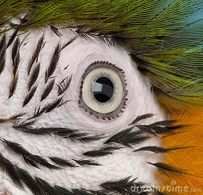 Close-up of Blue-and-yellow Macaw s eye