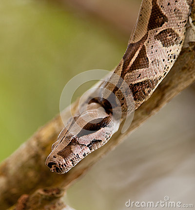 Close-up of a Boa Constrictor