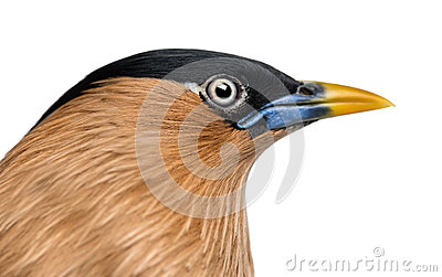 Close-up of a Brahminy Myna - Sturnia pagodarum