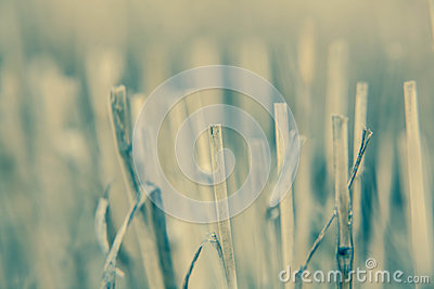 Close-up branch of wheat color processing