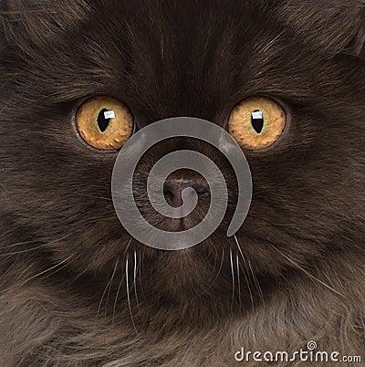 Close-up of British Longhair cat