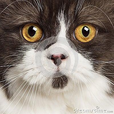 Close up of a British longhair looking at camera