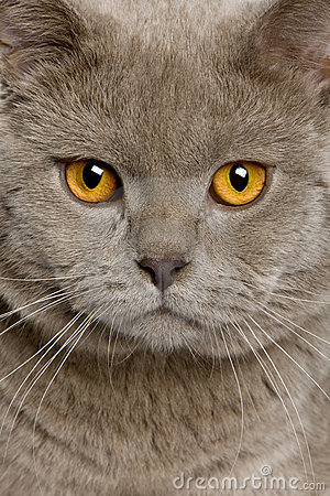 Close up of a british shorthair (10 months old)