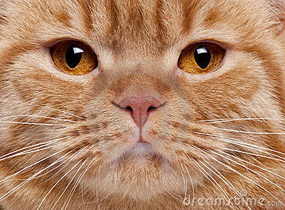 Close-up of British Shorthair cat s face