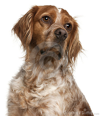 Close-up of Brittany dog, 3 years old