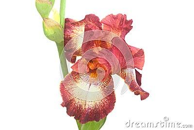 Close-Up of Brown Iris Flower Petals