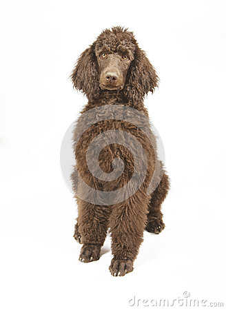 Close-up of a brown Standard Poodle
