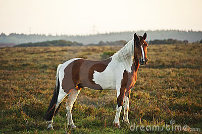 Close up of brown and white New Forest pony