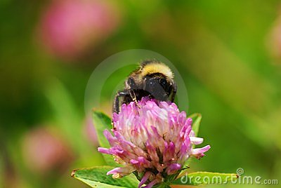 Close up on a Bumble bee