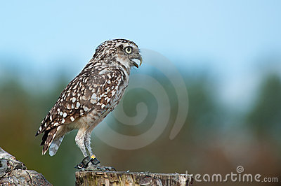 Close up of Burrowing Owl
