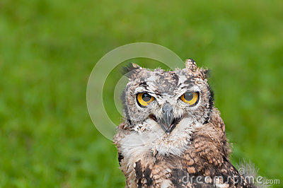 Close up of a burrowing owl on a green background