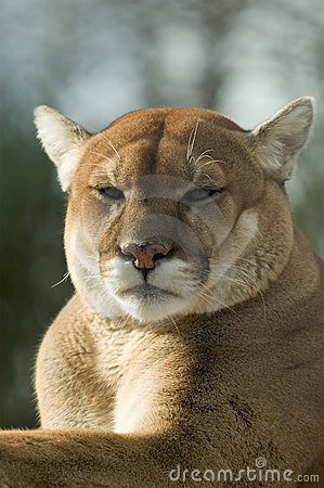 Close-up of captive cougar / puma / mountain lion