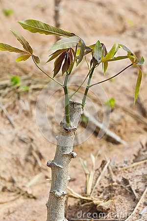 Close up of cassava sapling