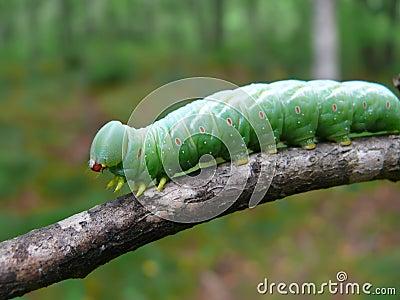 Close-up of Caterpillar 21