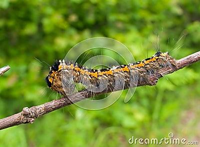 Close-up of Caterpillar 5