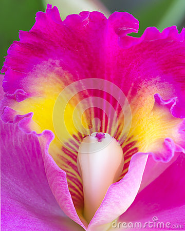 Free Close Up Cattleya Orchid Royalty Free Stock Image - 37438536