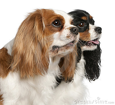 Close-up of Cavalier King Charles Spaniels