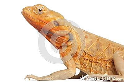 Close-up of Central Bearded Dragon, Pogona