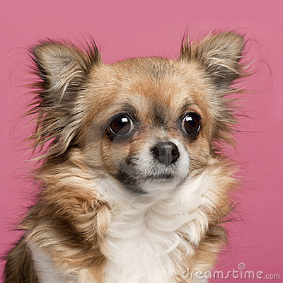 Close-up of Chihuahua, 3 years old