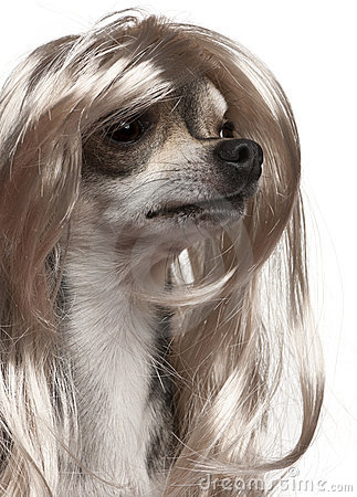 Close-up of Chihuahua with long hair wig