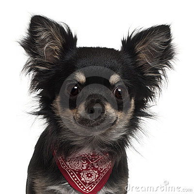 Close-up of Chihuahua wearing handkerchief
