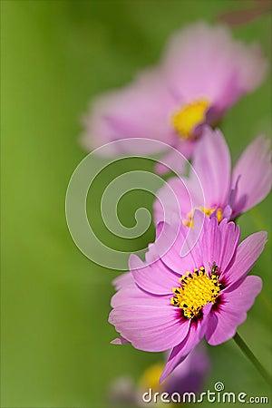 Close-up of chrysanthemum;