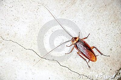 Close up cockroach