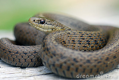 A close up of a common garter snake in Washington