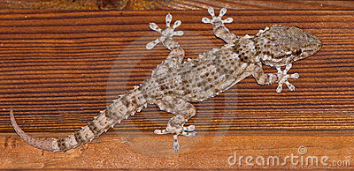 A close-up of the Common Wall Gecko