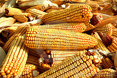 Close up of corn cobs and husks