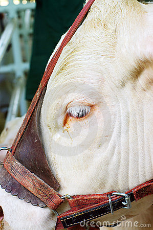 A close up of a cow s head.