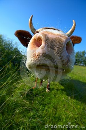 Free Close-up Cow S Mug Stock Images - 7432004