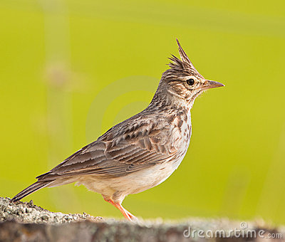 Close-up of a Crested Lark