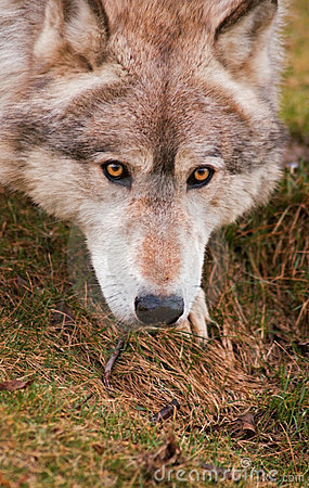Free Close Up Crouching Timber Wolf Stock Photography - 2344202