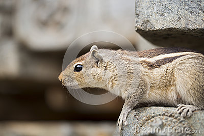 Close Up of a curious Brown Indian Squirrel