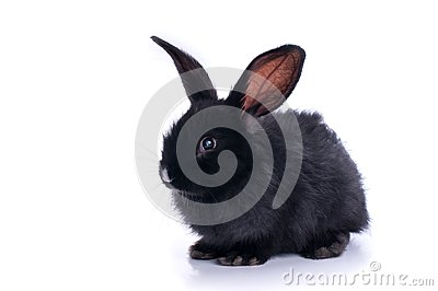 Close-up of cute black rabbit eating