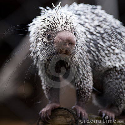 Close-up of a cute Brazilian Porcupine
