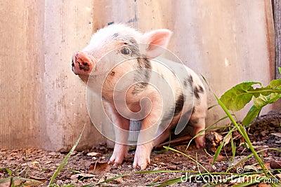 Close-up of a cute muddy piglet