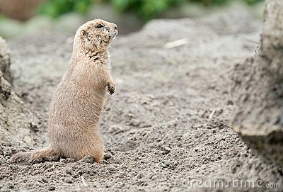 Close-up of a cute prairie dog