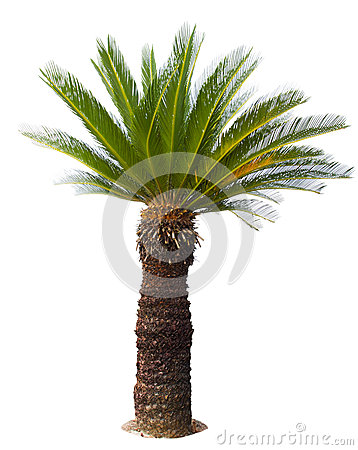 Free Close Up Cycad Palm Tree Isolated On White Background Usefor Gar Royalty Free Stock Photos - 50173978