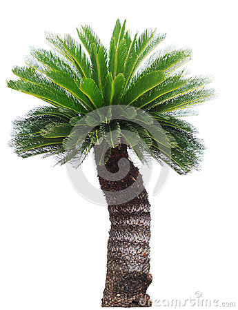 Free Close Up Cycad Palm Tree Isolated On White Background Usefor Gar Royalty Free Stock Photography - 50179427
