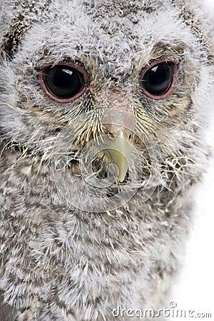 Close-up da coruja pequena do bebê, 4 semanas velha