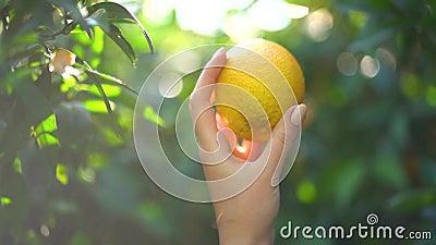 Close-up da mão fêmea que guarda uma tangerina ou uma laranja suculenta no fundo do brilho ensolarado e do bloor verde em um enso filme