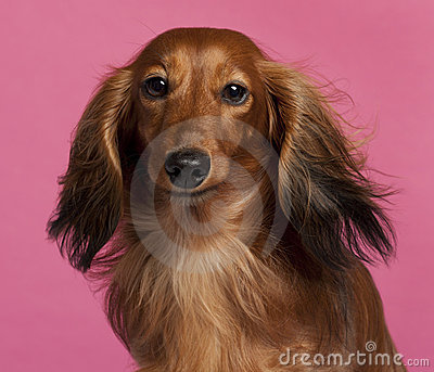 Close-up of Dachshund