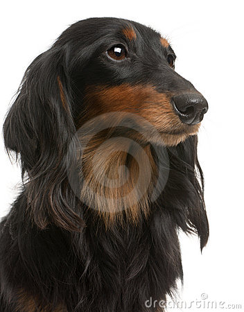 Close-up of Dachshund, 4 years old