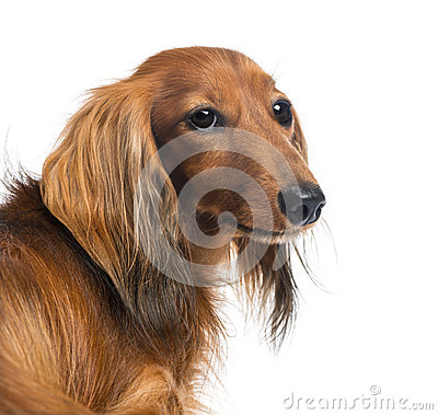 Close-up of a Dachshund, 4 years old