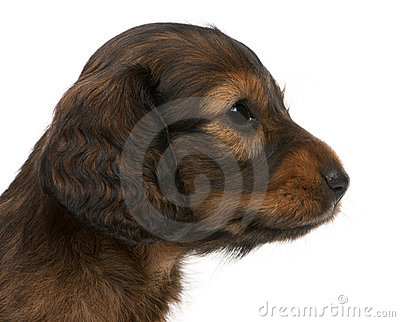 Close-up of Dachshund puppy, 5 weeks old