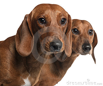 Close-up of Dachshunds