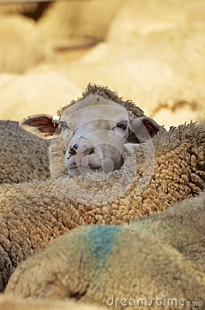 Close up of dairy sheep in Australia